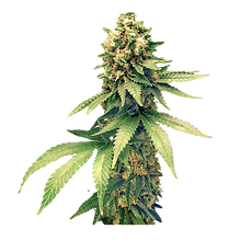 49-491048_cannabis-images-free-download-