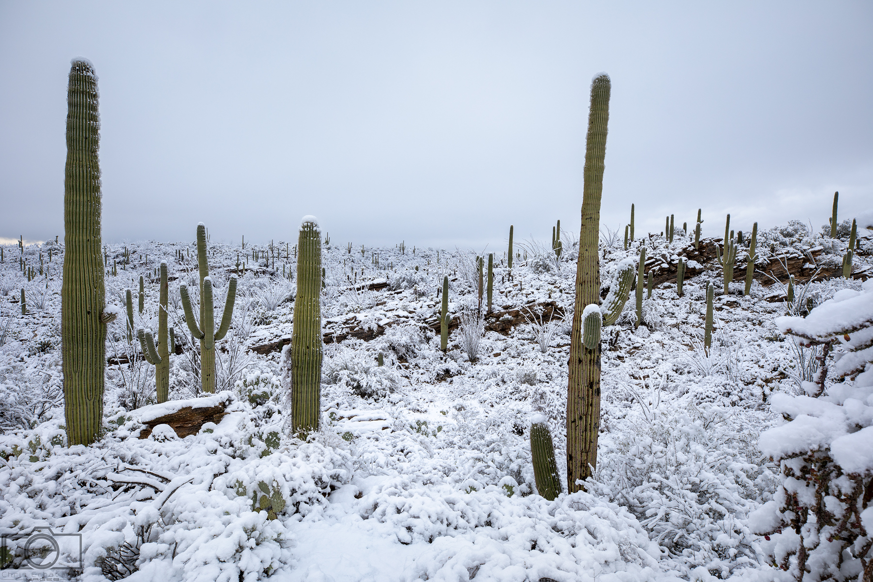 snow covered saguaros tucson winter