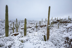 snow covered saguaros tucson winter