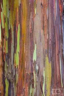 hawaii rainbow tree