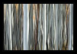 Aspen Trees Painting