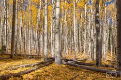 fall leaves aspen trees flagstaff