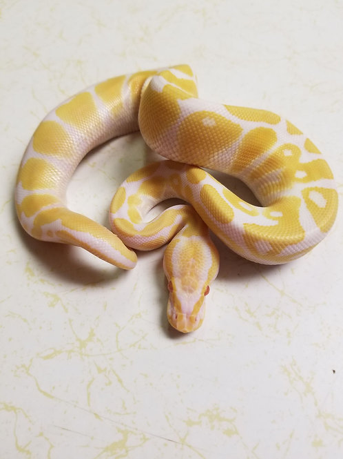 Albino Ball Python-Male #1
