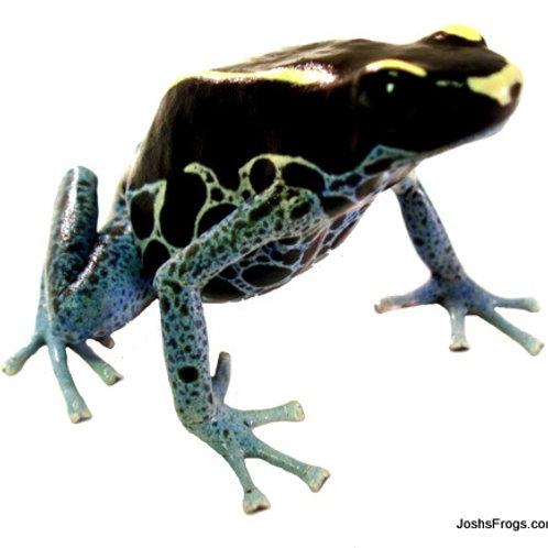 Powder Blue Dart Frog (Captive Bred)