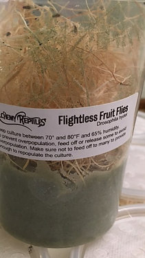 Flightless Fruit Fly Culture (Drosophila Hydei)