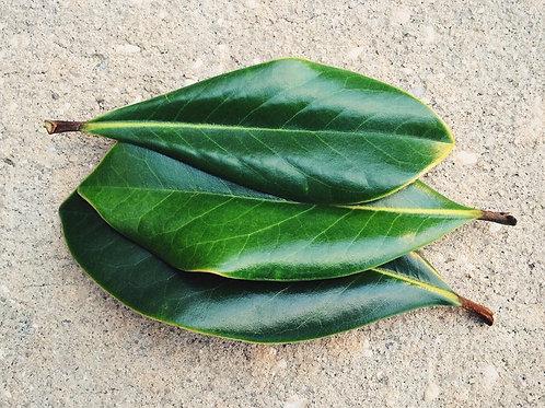 Magnolia leaves dried or fresh 50+ leaves