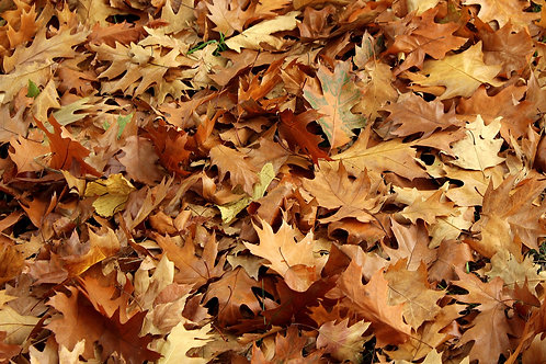 Oak Leaf Litter- 50+ Leaves