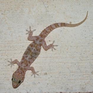 Mediterranean house gecko Hemidactylus turcicus Captive Bred