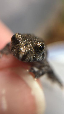 Captive Breed Baby Fire Bellied Toads