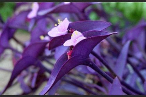 Purple Heart, Tradescantia pallida Stem Cutting