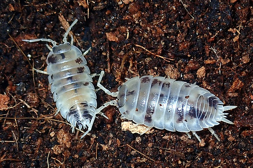 Porcellio laevis 'Dairy Cow' Isopods (10 Count)
