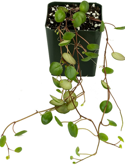 Peperomia 'Pepperspot' Stem Cutting