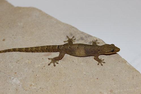 Mourning Gecko - Lepidodactylus lugubris (Captive Bred)