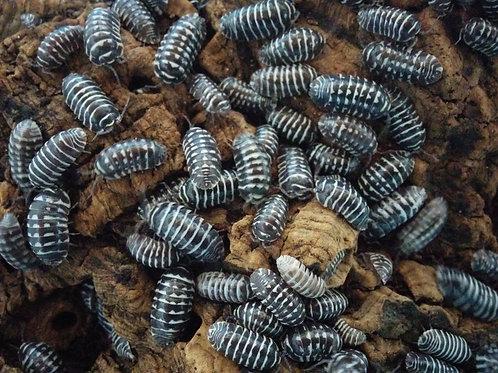 Armadillidium maculatum 'Zebra' Isopods (10 Count)