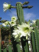 Echinopsis-pachanoi-San-Pedro-Cactus2.jp