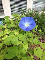 Grandmothers Morning Glories.jpg