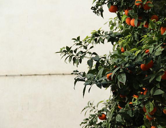 oranges .jpg
