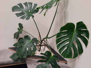 Monstera finds home in Hastings HIVE...!