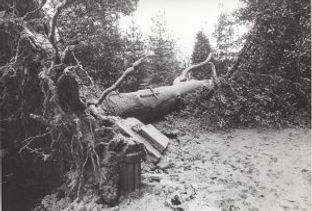Cedar-of-Lebanon-blown-down-by-high-winds-on-the-evening-of-11th-January-1978-300x203.jpg
