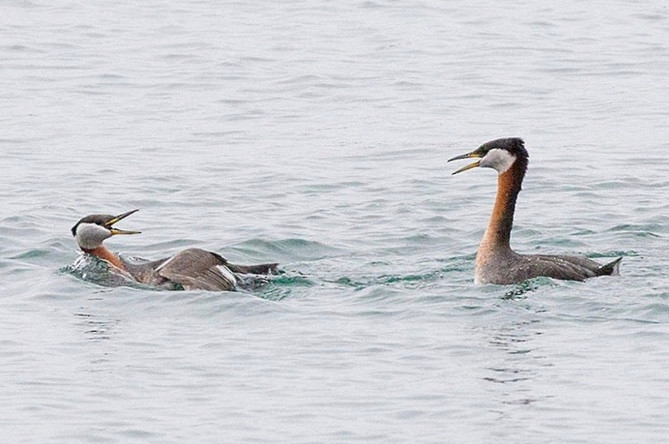Two Red Necked Grebe frollicking in the water at Colonel Samuel Smith Park.  Photo Credit: Brian Bailey