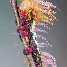 Saturniidae Moth Caterpillar.jpg