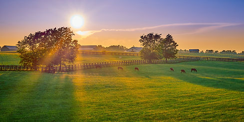 Thoroughbred horses grazing at sunset in