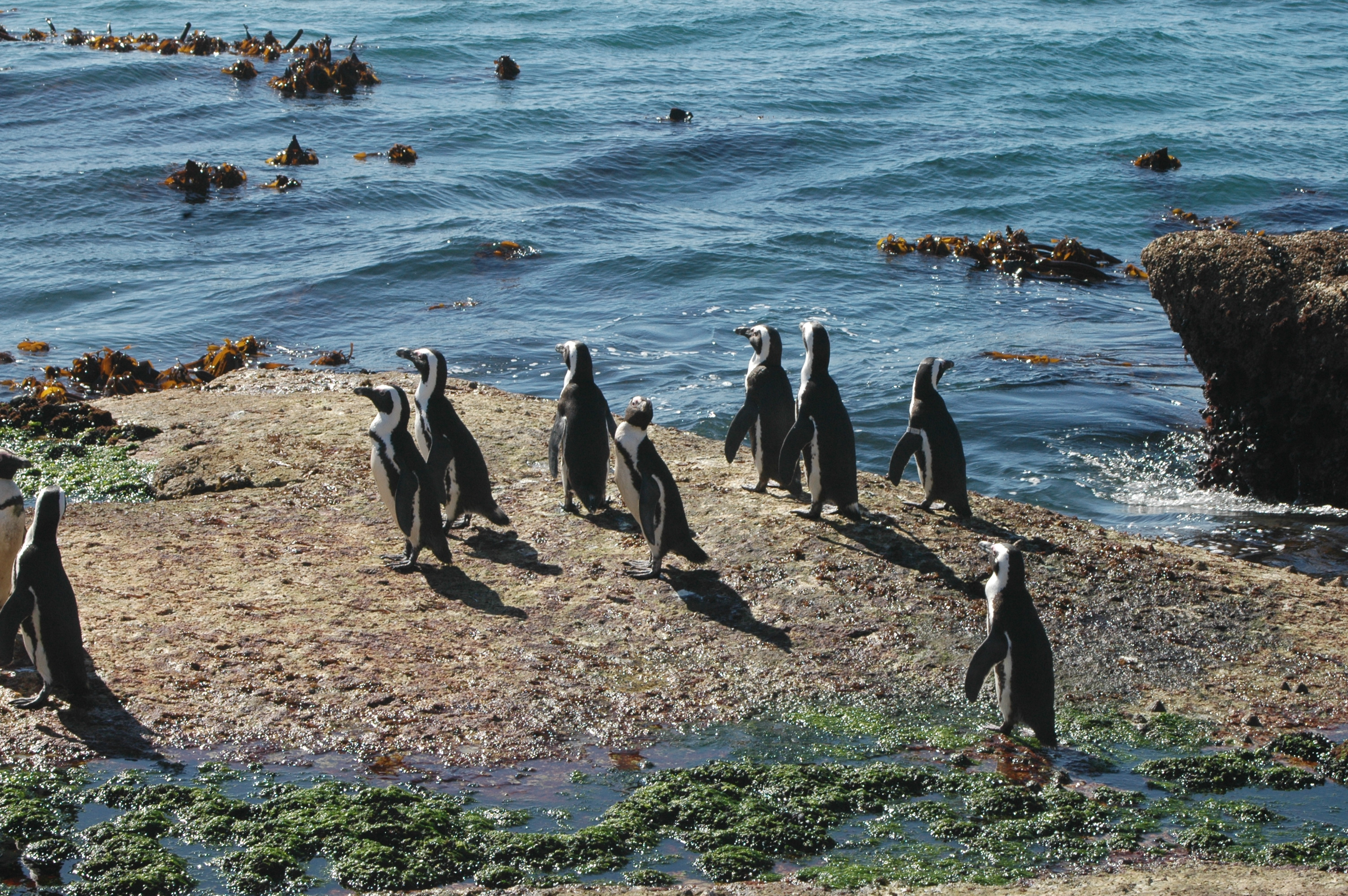Penguins at Boulders Beach