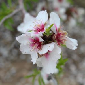Kibbutz Mafalsim - Almond blossoms (Shkediot)