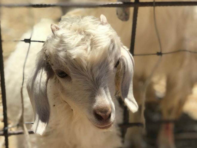 A white goat next to a metal fence on Israel's Alpaca Farm
