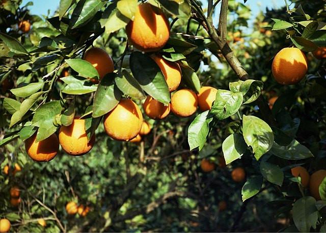 Orange orchard at Kibbutz Ein Hahoresh