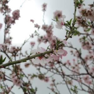 Kibbutz Mafalsim- Almond blossoms (Shkediot)