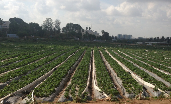 Rows of strawberry plants in a field