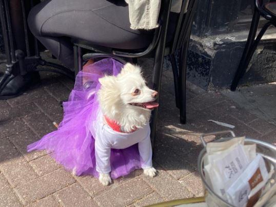 A dog wearing a purple Purim costume