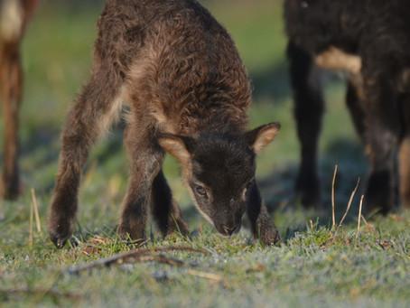 Naissance des agneaux Soay