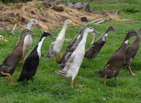 Les canards coureurs indiens mangent-ils les légumes du jardin ?