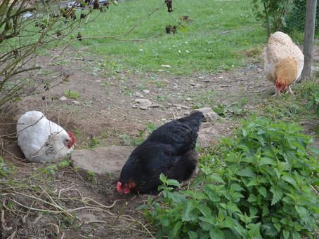 Ne sauvez plus les poules des abattoirs !