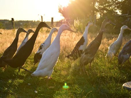 23/8 + 13/9 : canards coureurs indiens + faire ses propres semences