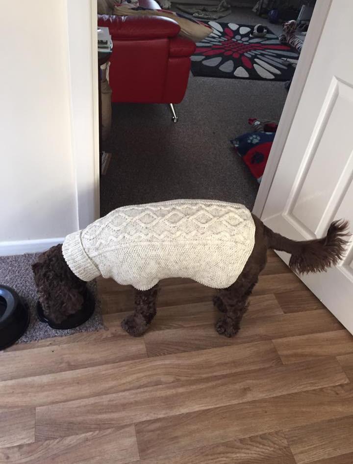 dog coat 551 on Poppy