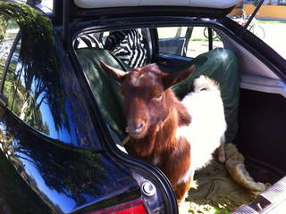 Permaculture Goats