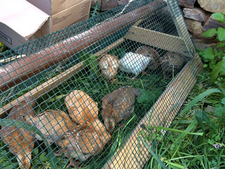 Chickens and Poultry Project