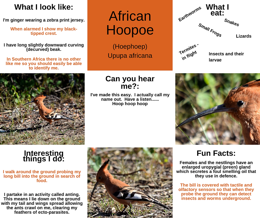 Fact Sheet - African Hoopoe.png