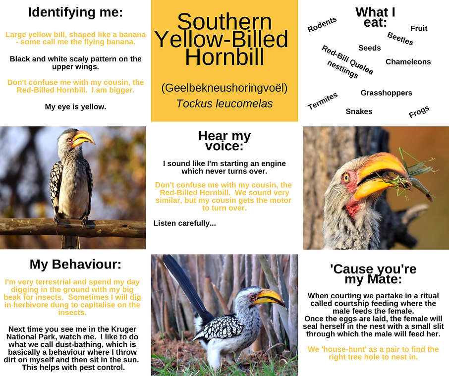 Fact Sheet - Yellow- Billed Hornbill.png