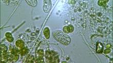 NUTRICIÓN NATURAL (Parte I): La Importancia de las Microalgas en los Sistemas Acuáticos