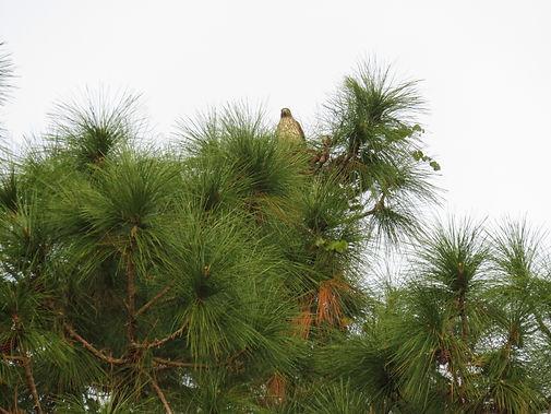 Flat Swamp- Hawk in Tree.JPG