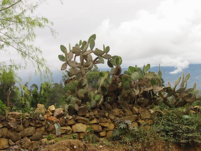 Nopales -atmósfera mexicana