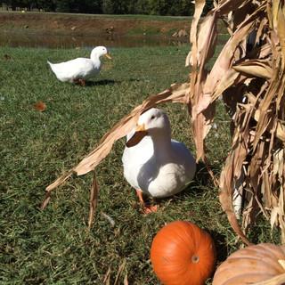 ducks and pumpkins.jpg