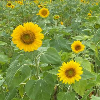 Sunflowers at Calies Acre.jpg