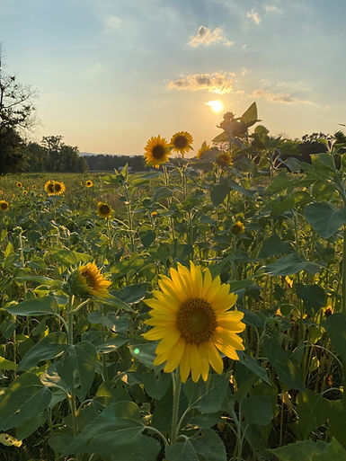 Sunset Sunflowers at Calies Acre.jpg
