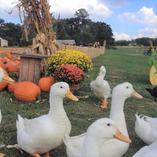 pumpkin ducks fall.jpg