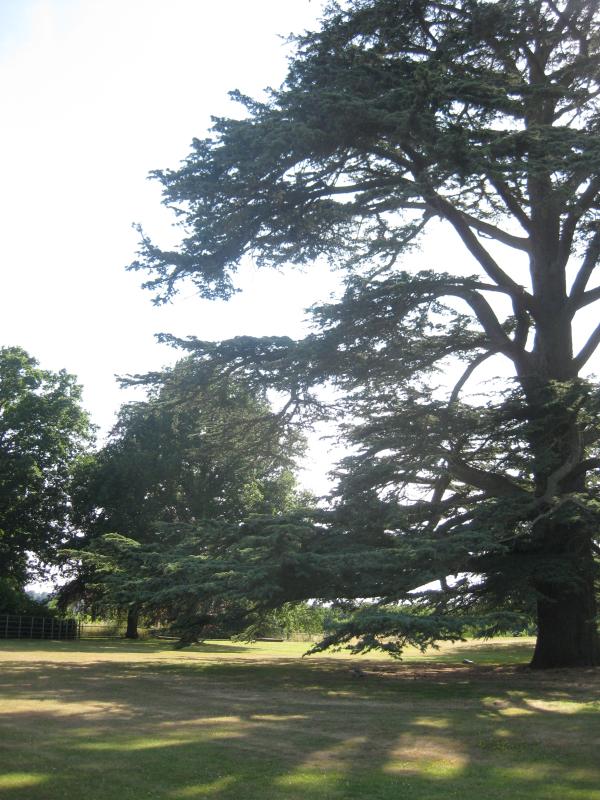 Cedar at Loseley Park